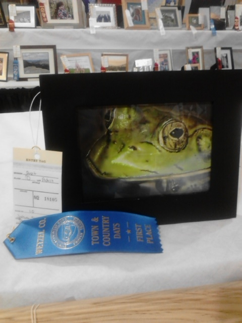 Blue ribbon bullfrog