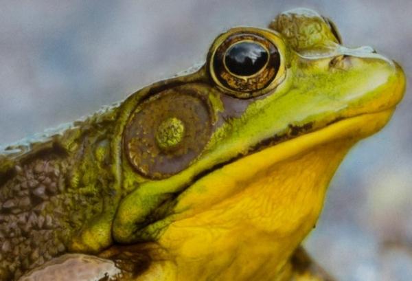 Airbrush Tutorial - Frog Detail