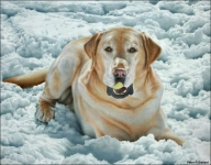 Airbrush portrait of Buckie playing with tennis ball in the snow. Acrylic on gessoed board. - Airbrush Artwoks